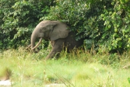 Figure-2-124-elephant-emerging-from-forest