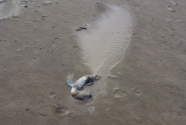 8. A dead penguin forms the nucleus of an embryo dune on the beach