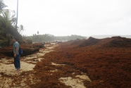 Fig.-10-giant-wrack-line-of-sargassum