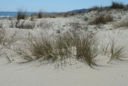Beach and mobile dunes vegetation