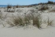 Beach and mobile dunes vegetation