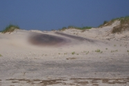 Fig-8. Pea Island, garnetiferous sand in dune
