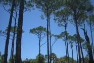 Caladesi Island pines (2011)