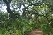 Caladesi Island oak hammock (2011)