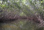 Caladesi Island mangrove tunnel (2012)