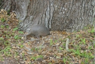 Armadillo feeding within the maritime forest on Cumberland Island