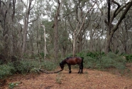 A feral horse grazing in the maritime forest on Cumberland Island.