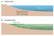 Figure 2-a-b. Ulva green tide development in a shallow coastal environment.