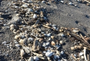 Volcanic sand and pumice debris wrack line on Isles Bay Beach.