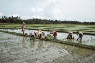 Drain Rice Paddies More Often.