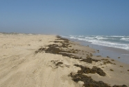 Sargassum seaweed and debris on the beaches of Padre Island National Seashore