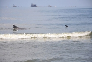 Two dolphins play in the surf while oil industry ships loom in the distance