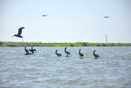 Pelicans and army helicopters