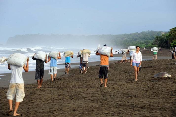 Sea Turtle Egg Poaching Legalized In Costa Rica The Debate