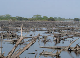 Miles of mangrove trees
