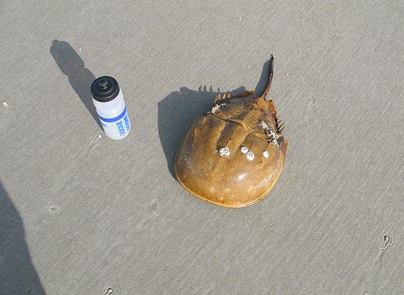 Horseshoe Crab Without Shell Horseshoe Crab