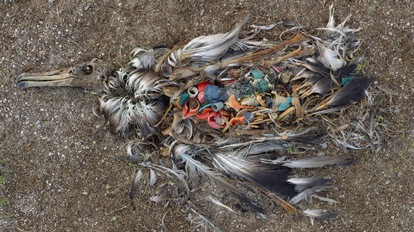 90 Percent of Seabirds Have Plastic in Their Stomachs