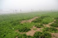 Algae Blankets China Beaches