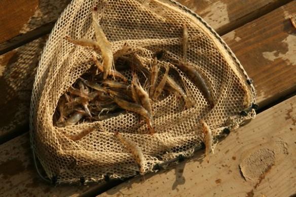 oiled-shrimps-bp
