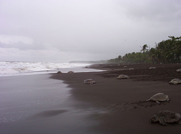 Sea turtle egg poaching legalized in costa rica the for Black sand beaches costa rica