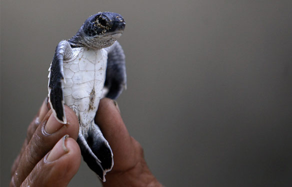 hatchling-sea-turtle