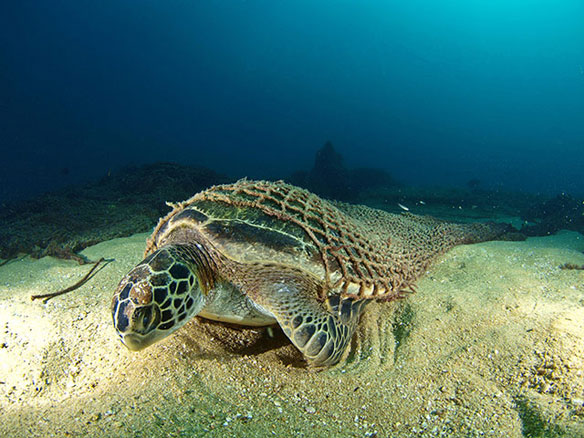 Sea Turtle Entangled