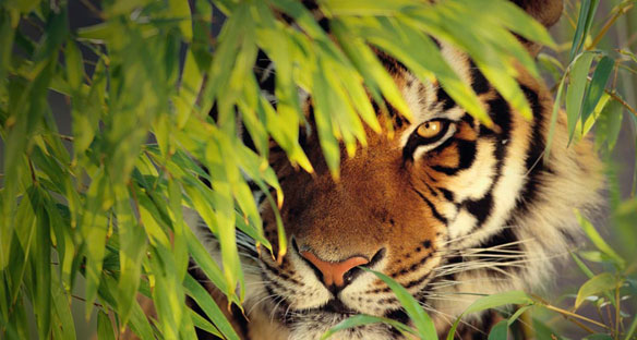 Sundarbans' Tigers Further Pushed Towards Extinction by Rising Sea Levels