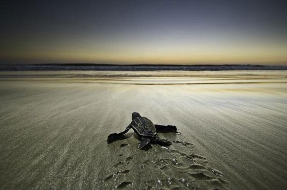 Rare leatherback turtle spotted on Sumatra's Beach, Indonesia