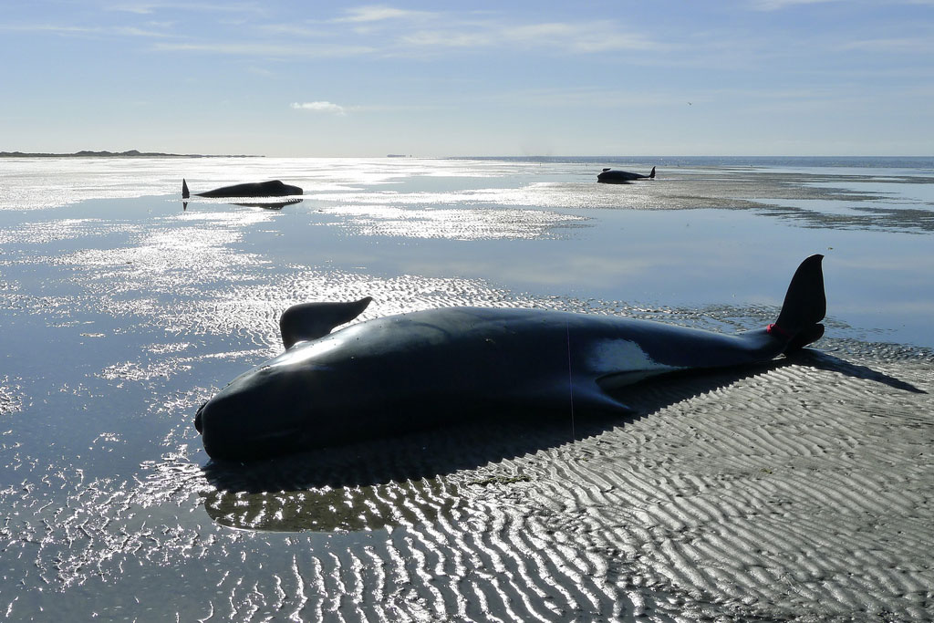 Pilot Whales Die on New Zealand Beach