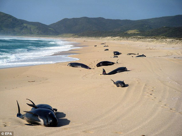 New Zealand Beached Whales