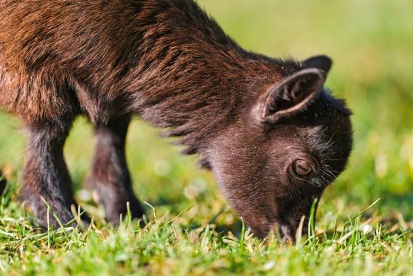 goat-grazing