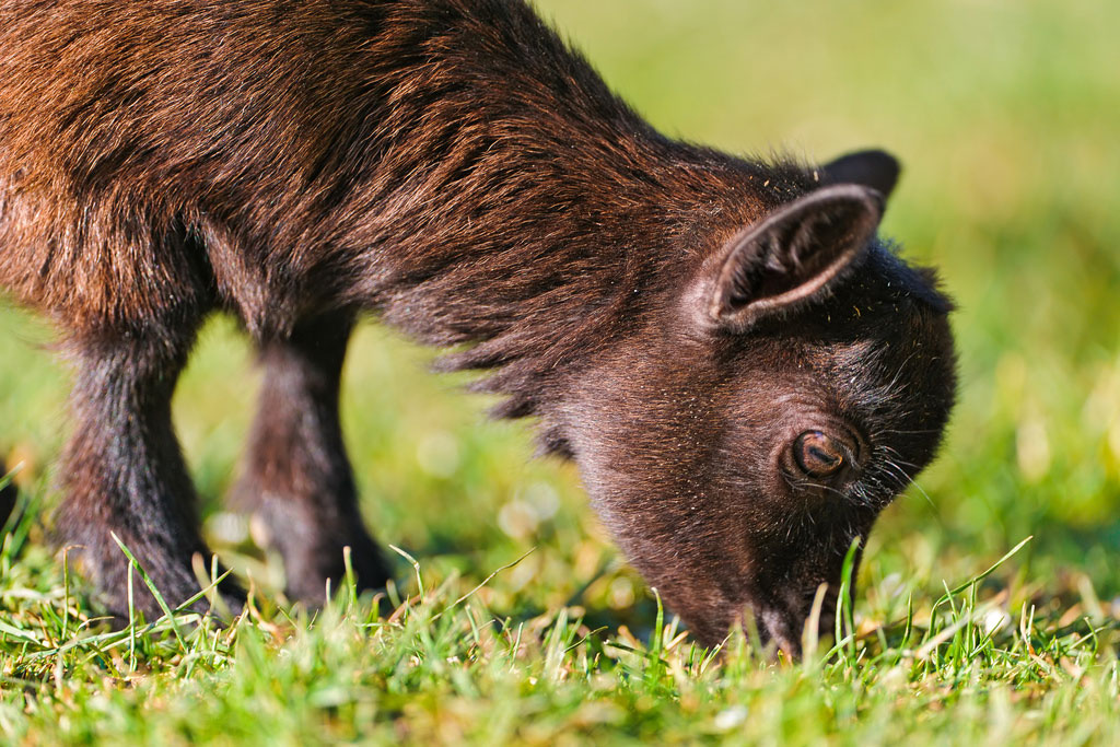 Goats Put Their Graze Anatomy to Good Work