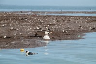 Tsunami Washes Away Feathered Victims West of Hawaii