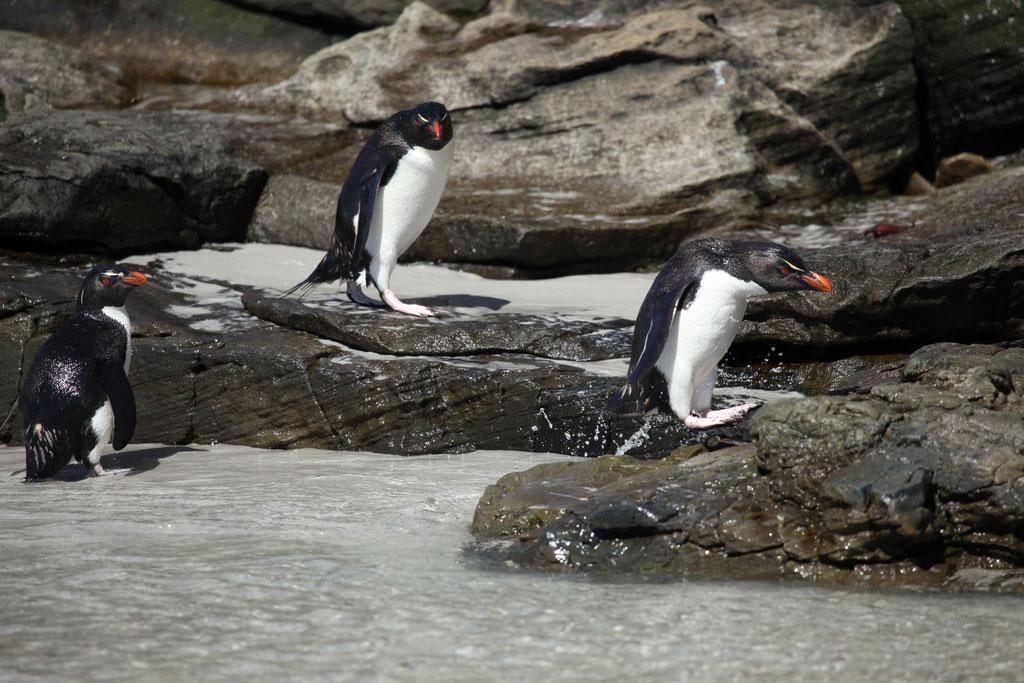 Tristan da Cunha islanders rescue penguins threatened by oil slick