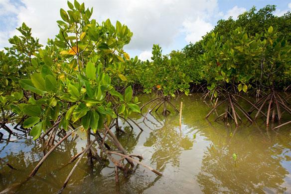 mangroves bali