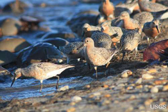 redknots-shorebirds-forage