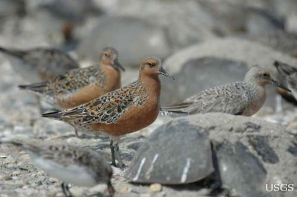 redknots shorebirds