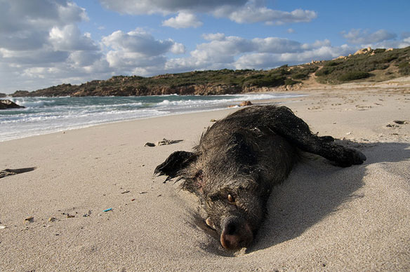 Dozens of boars found dead on French beach