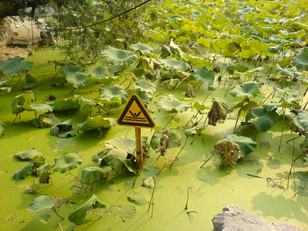 Green Algae Chokes Eastern China's Beaches