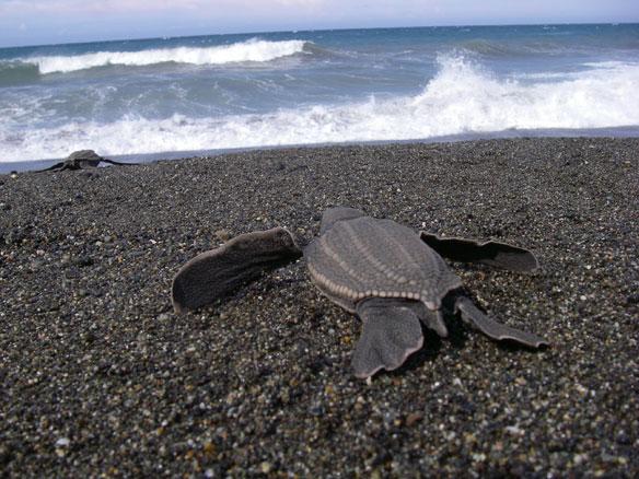 Beach Goers To Report Endangered Leatherback Turtle Sightings, UK