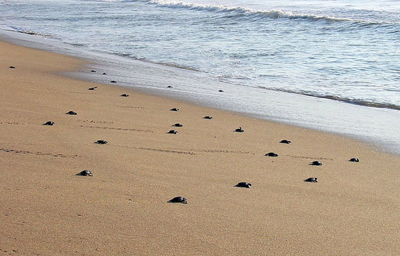 World's Largest Sea Turtle Nesting Beach in Peril Orissa Due to Massive Erosion