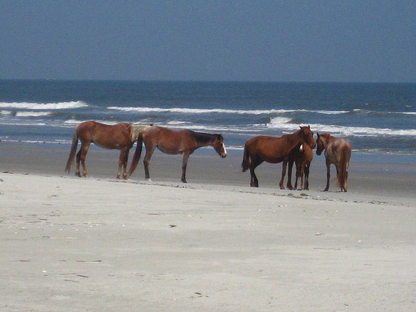 wild-horses-atlantic-coast