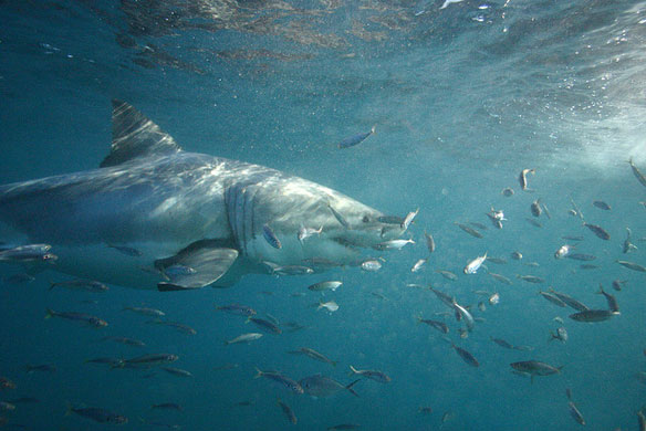 Great White Shark, Studied By Oceans Research