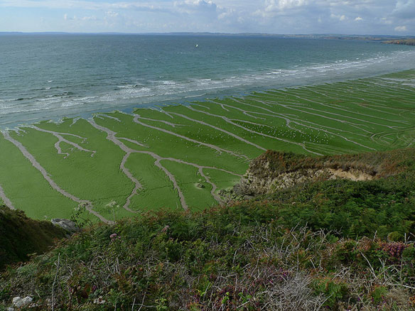 algues vertes plages
