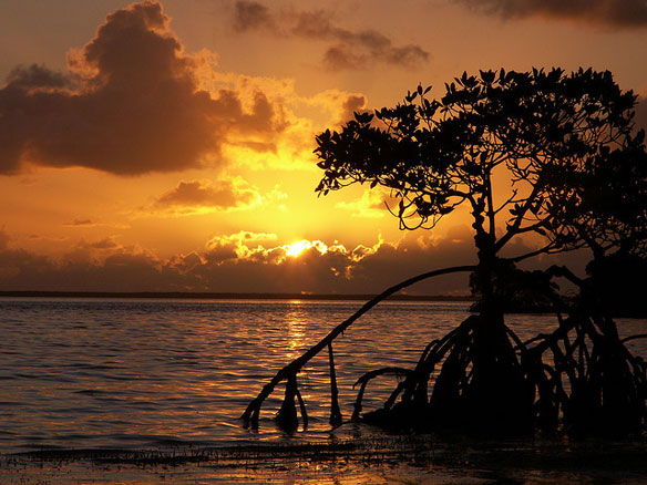 florida-keys-mangrove