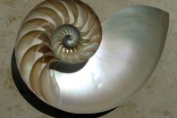 Loving the Chambered Nautilus to Death