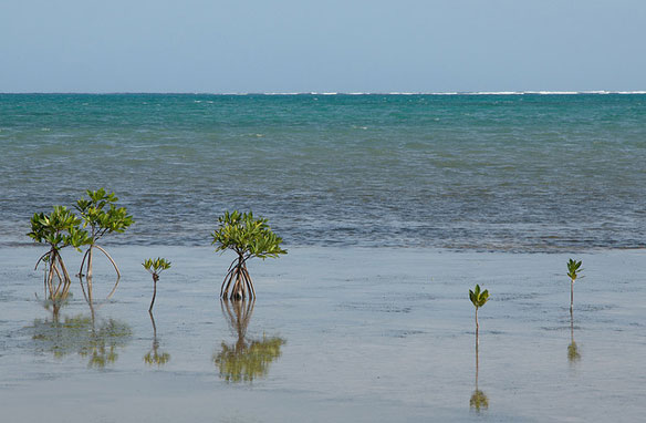 Mangrove Reforestation In Belize