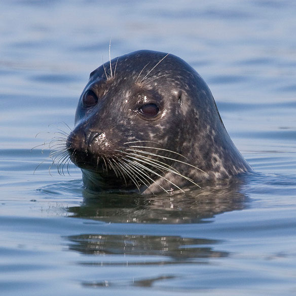 NOAA declares string of seal deaths on New England Shores an unusual mortality event