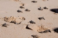 How Do Marine Turtles Return To The Same Beach To Lay Their Eggs?