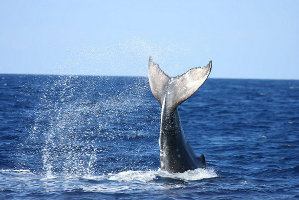 Whales off California coast draw crowds